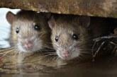 موشها دختر فرانسوی را در خواب جویدند