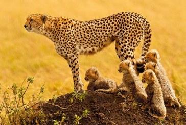 آخرین امیدها برای نجات یوزپلنگهای آسیایی در ایران